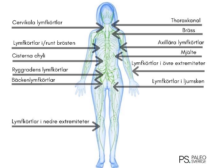 lymfkörtlar i kroppen