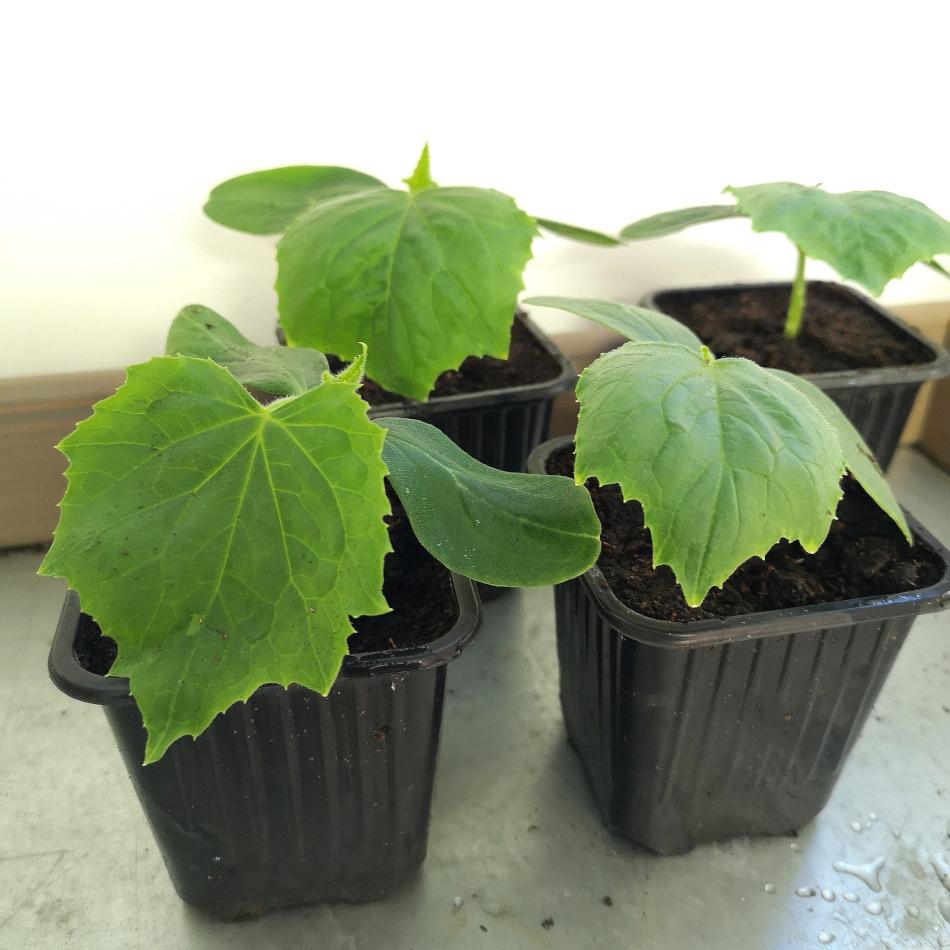 omplanterade-gurkplantor-fran-inomhusodlingen