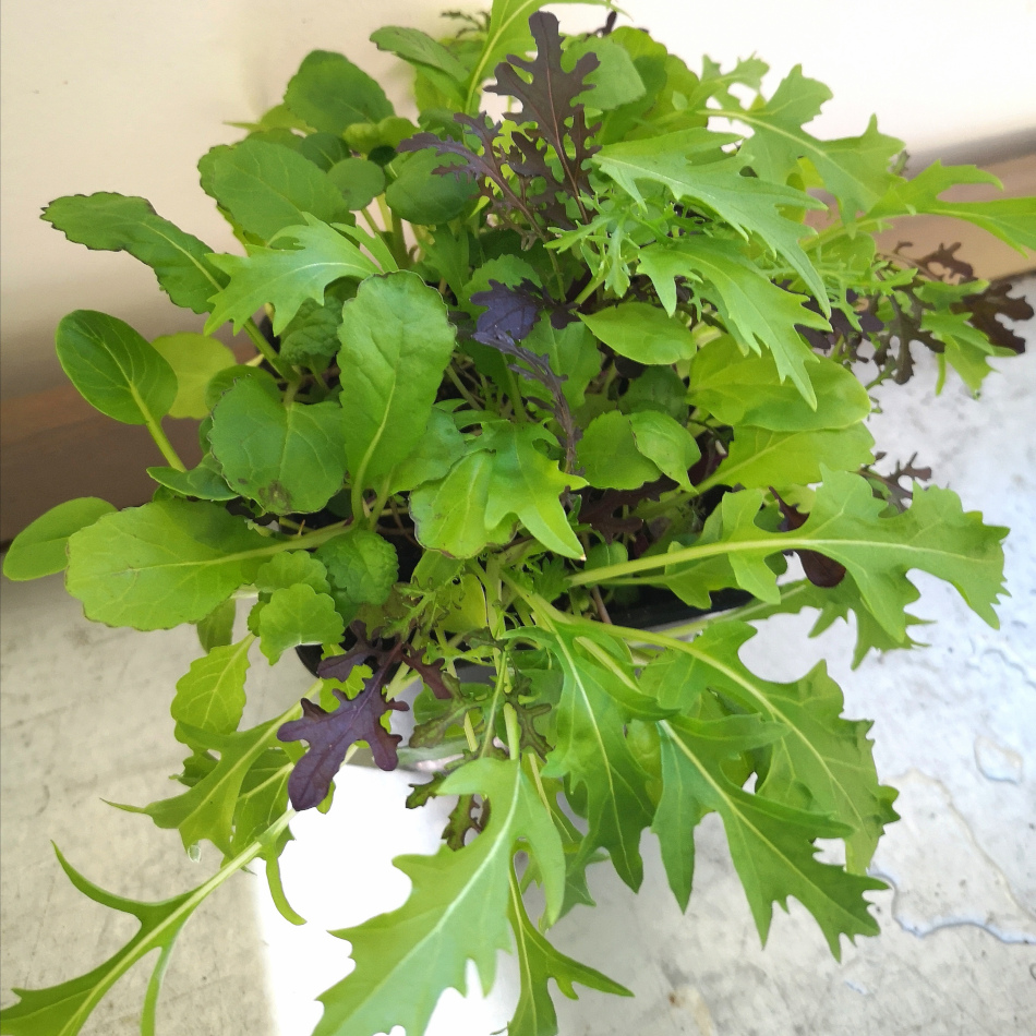 omplanterad-kalbladsmix-fran-inomhusodling